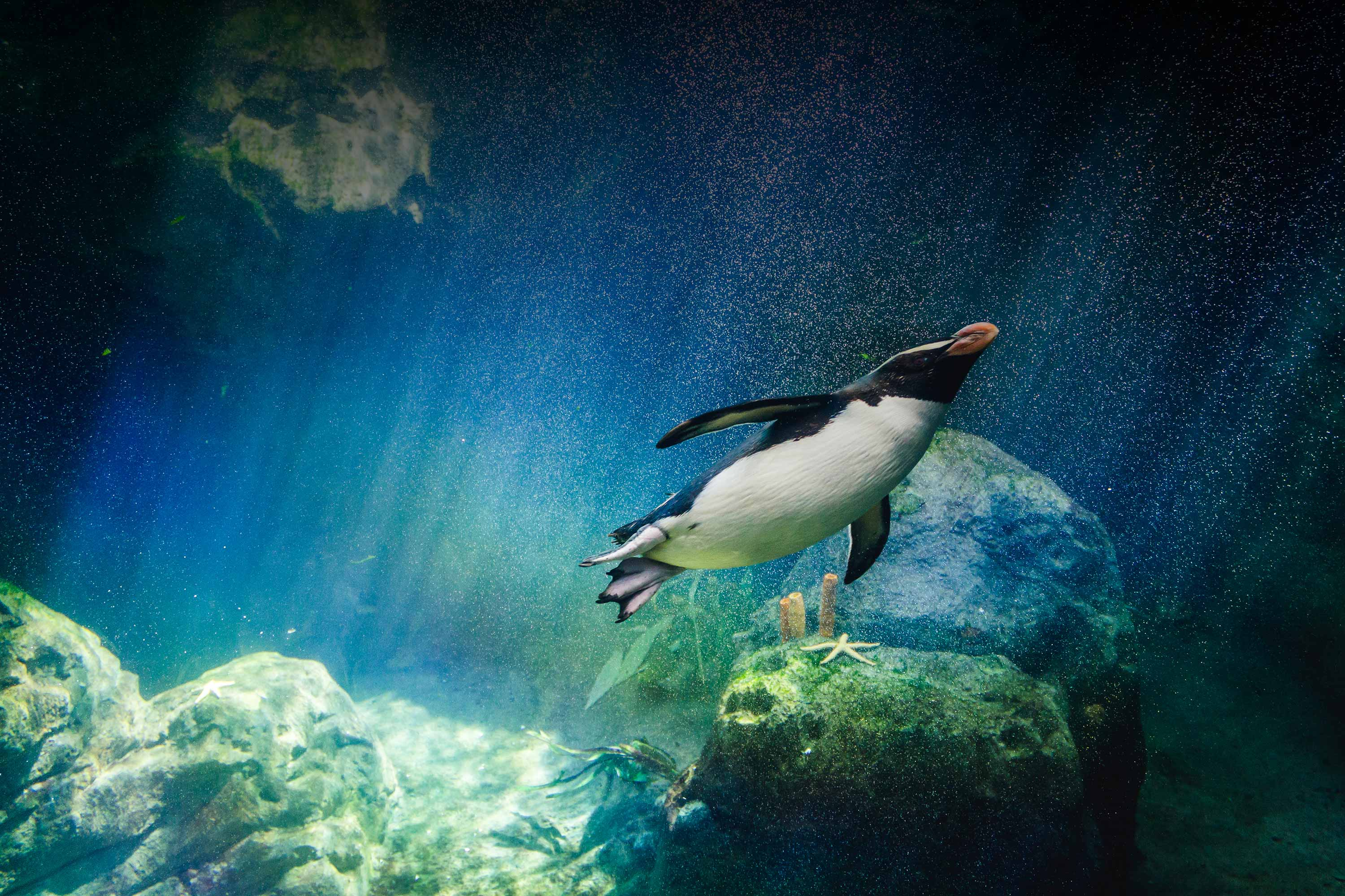 Snare Penguin Diving In Blue Waters