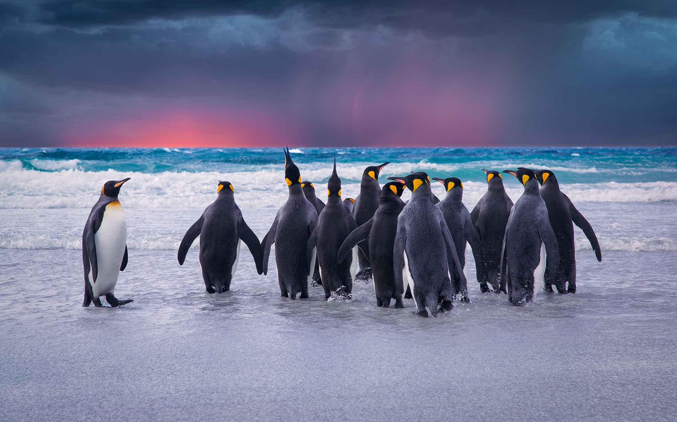 King Penguins At The Ocean